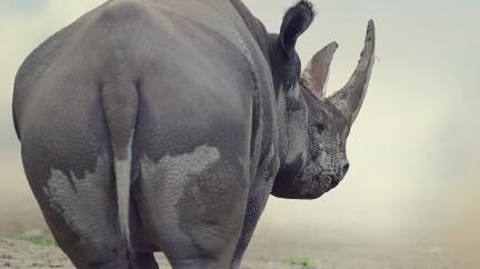 Ve městě plném korupce vyhrál volby nosorožec. Poražený kandidát se zastřelil