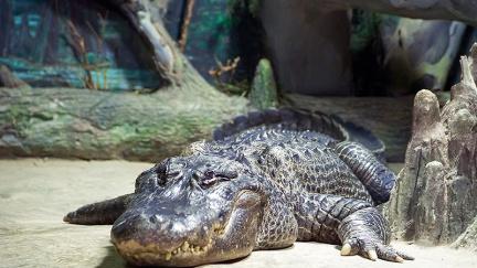 Zemřel aligátor, jehož podle legendy vlastnil Hitler. Bylo mu 84 let