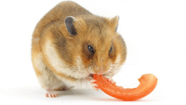 profimedia-0245577169 tomato hamster