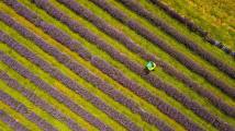 Levandulová sklizeň