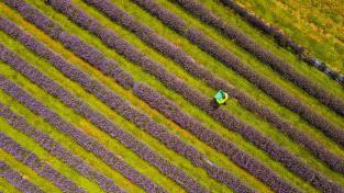 Levandulové pole v britském Cornwallu