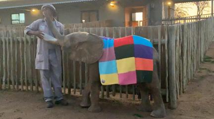 Pletací babička změnila osiřelé sloní mládě v pohádkového hrdinu