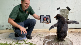 Tučňák Pierre si oblíbil dětský seriál Pingu