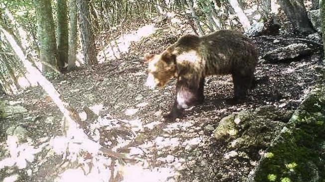 Medvěd uprchlík s kódovým označením M49