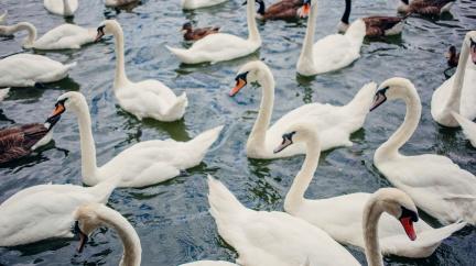 Potomci labutí od Alžběty II. se přemnožili a jsou na prodej