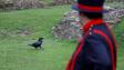 Korona dává zabrat i krkavcům z londýnského Toweru