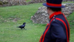 Krkavce z londýnského Toweru ohrožuje pandemie