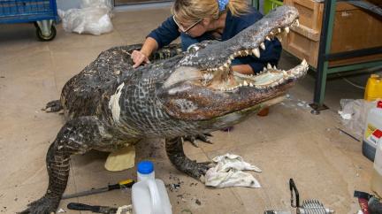 Z legendárního Hitlerova aligátora je muzejní exponát