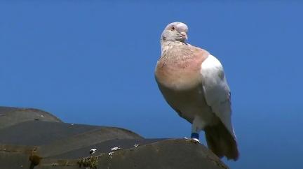 Statečný holub Joe přežil cestu přes oceán, přesto ho chtějí zlikvidovat