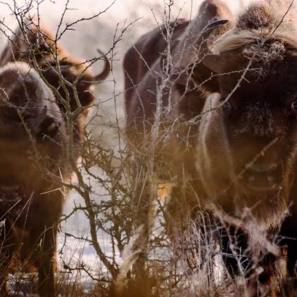 Proti lesním požárům ve Španělsku nasadí biologické zbraně: Zubry