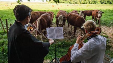 Violoncellista vyměnil během pandemie publikum za krávy