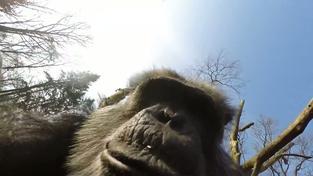 Šimpanz sundal dron s kamerou a pořídil si selfie