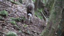 Netradiční sexuální vztah makaka a jelena