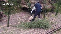 Když si chce mládě pandy hrát a ošetřovatel na něj nemá čas