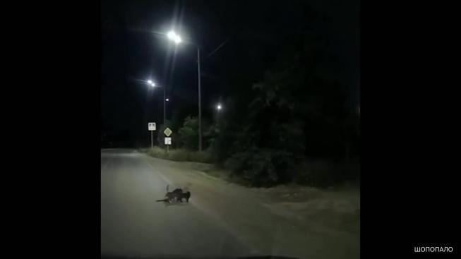 Kočky v bezpečí převedly přes silnici zraněného psa
